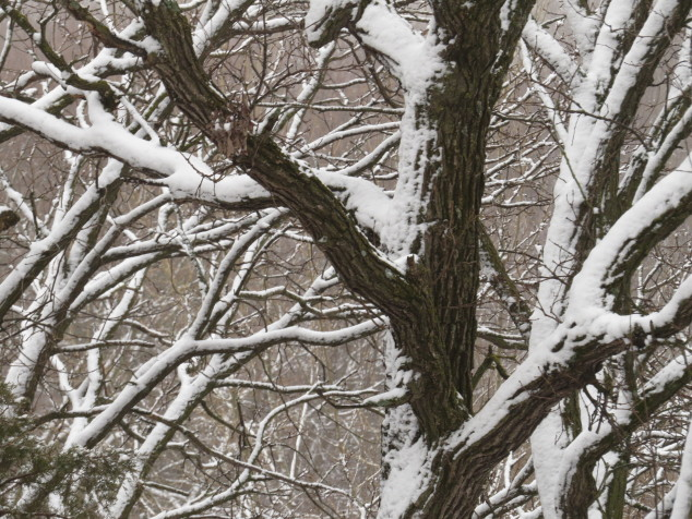 Snow-covered oaks