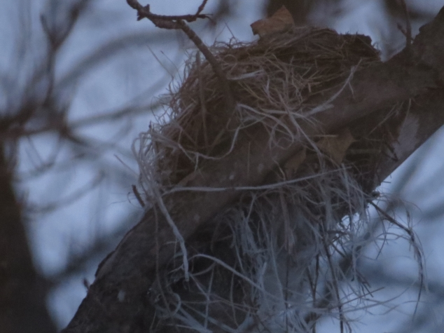 Winter nest in Maple tree