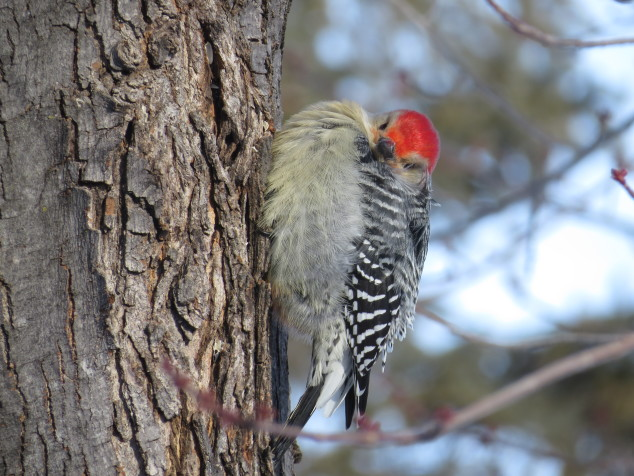 Red-bellied woodpecker in the cold wind