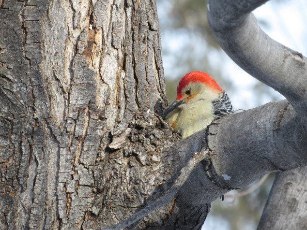 Red-bellied woodpecker eating seeds