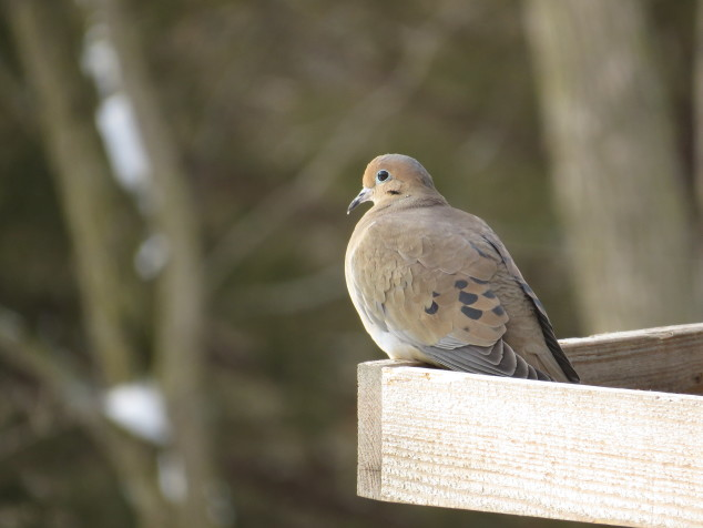 Mourning dove in the feeder