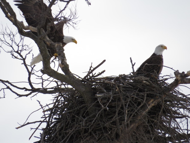 Eagle bring a branch to build nest