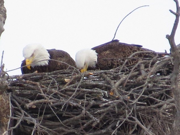 Eagles working on the nest