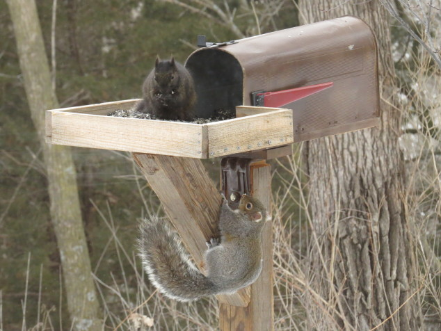 Gray squirrel sneaking up on the black squirrel