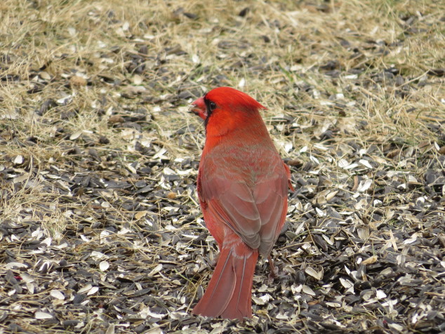 Cardinal in March