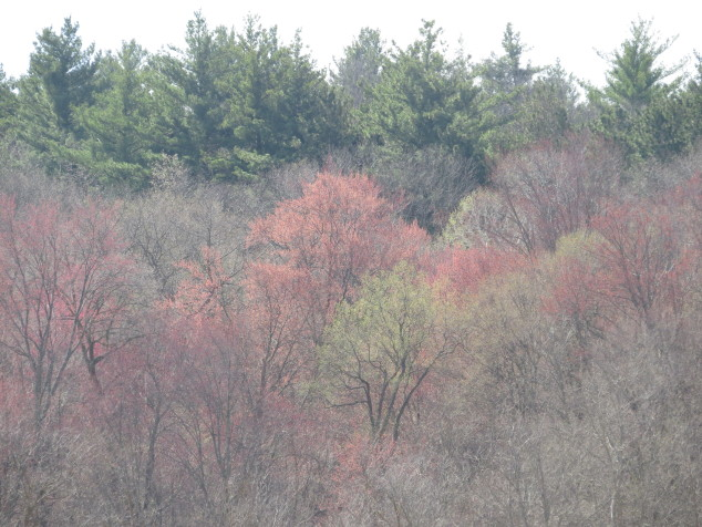 Maple trees blooming