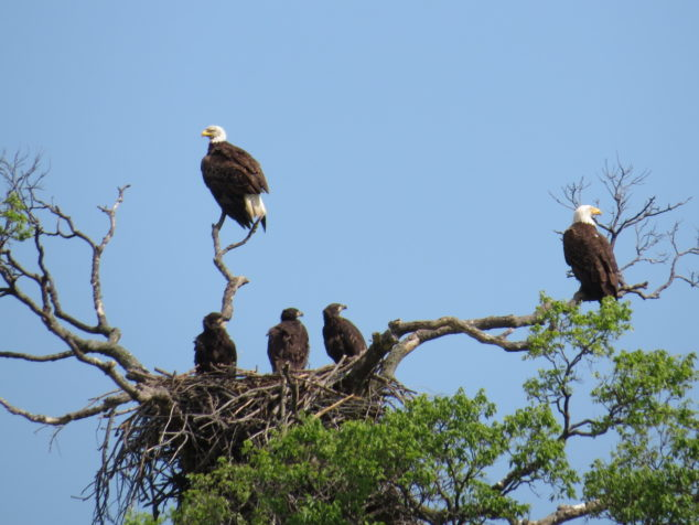 Eagle Family at Eagle Park