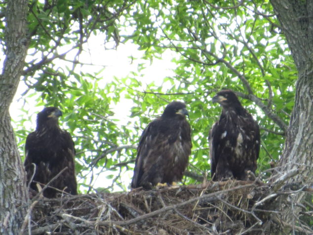 Young eagles at Rockville County Park