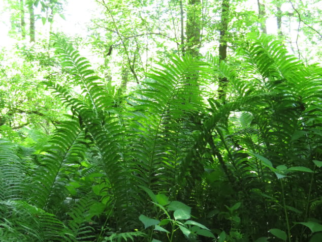 Ferns in Rockville County Park
