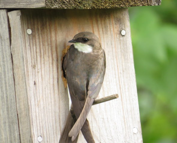 Tree swallow at nesting box