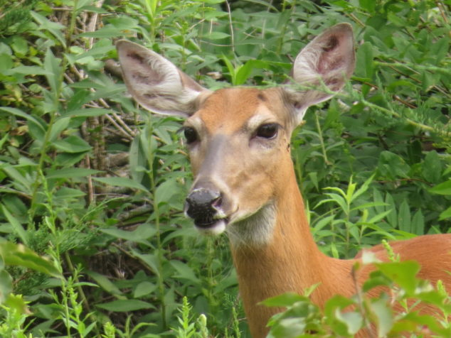 Close up of doe