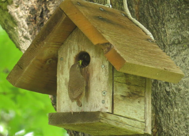 House Wren feeding young ones