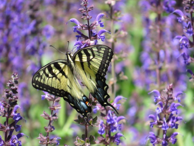 Yellow swallowtail butterfly on blue salvia
