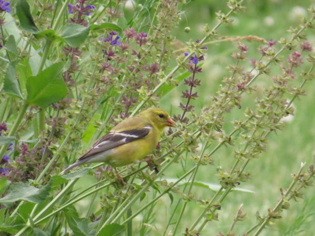 Female goldfinch on blue salvia
