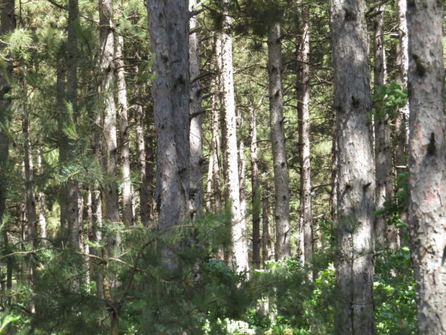 Pine forest at Sand Dunes State Forest