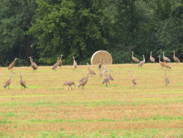 Hay field of Sandhill Cranes