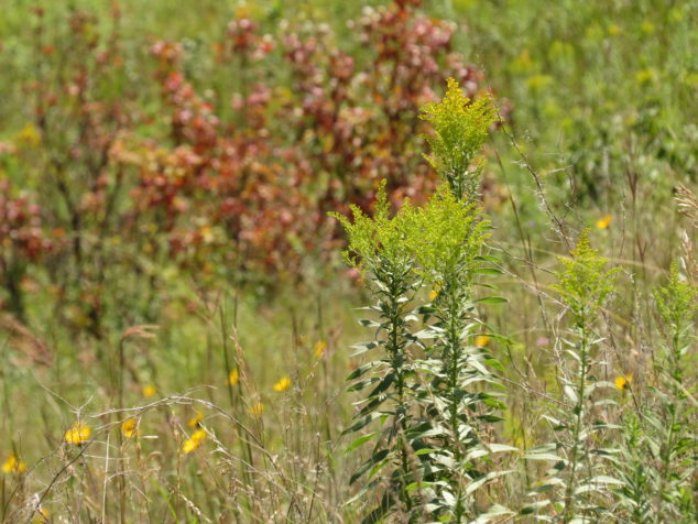 Goldenrod at Glacial Lakes State Park