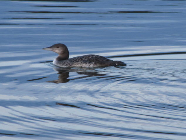 Young loon
