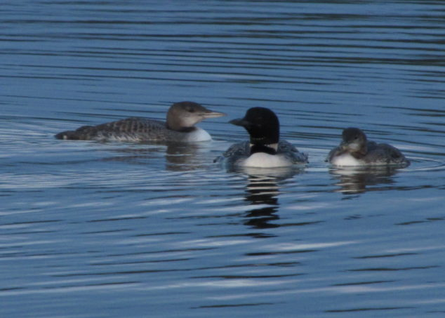 Mama loon and young ones