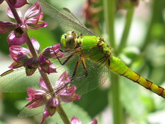 Dragonfly on Pink Salvia