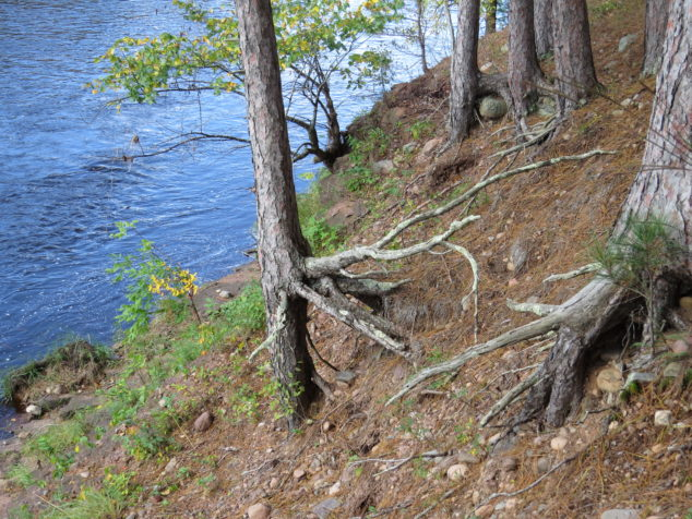 Trees along the Kettle River