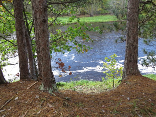 Pines along the Kettle River