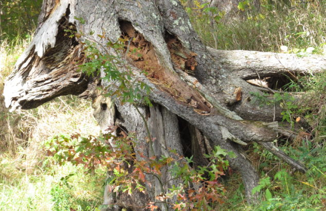Roots of pine by Kettle River