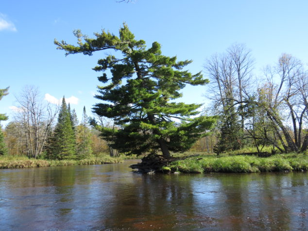 Pine tree on the point of St. Croix River