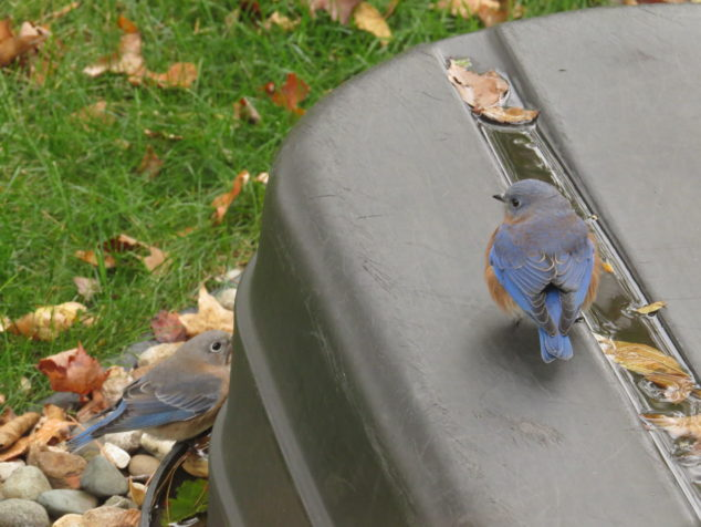Bluebirds getting a drink of water