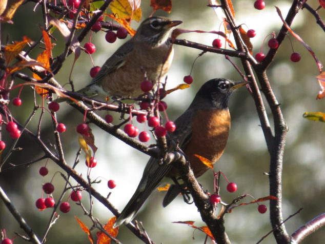 Robins in the Crabapple tree