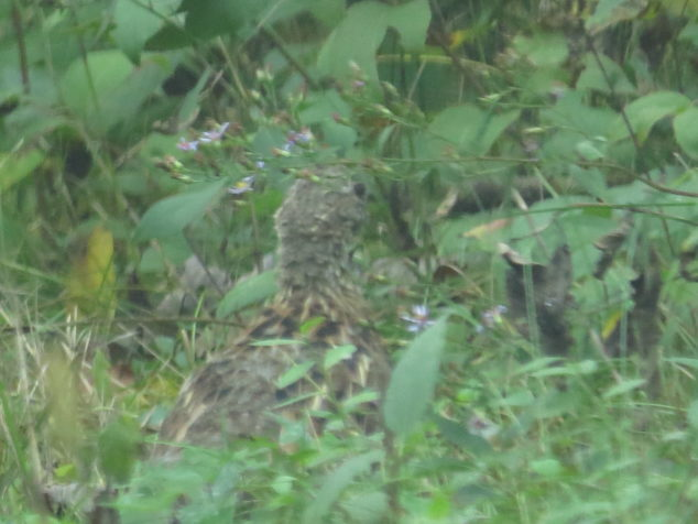 Camouflaged Ruffed Grouse