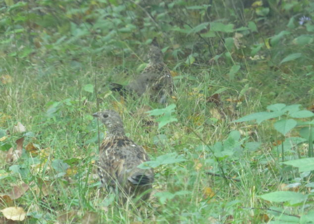 A pair of Ruffed Grouse
