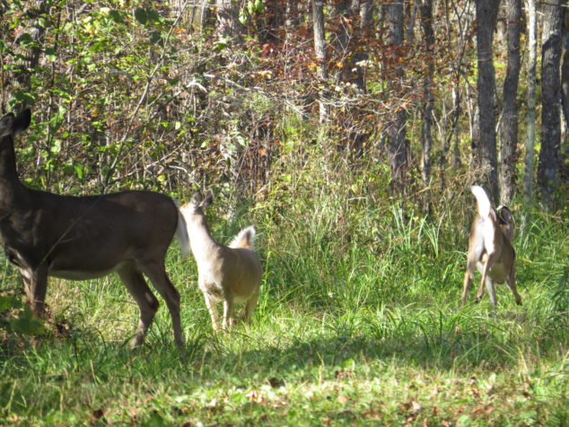 Doe and fawns running away