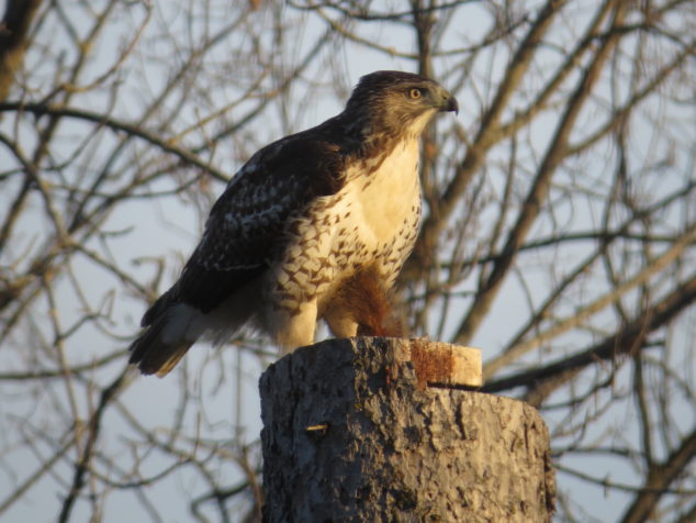 Cooper's Hawk with red squirrel