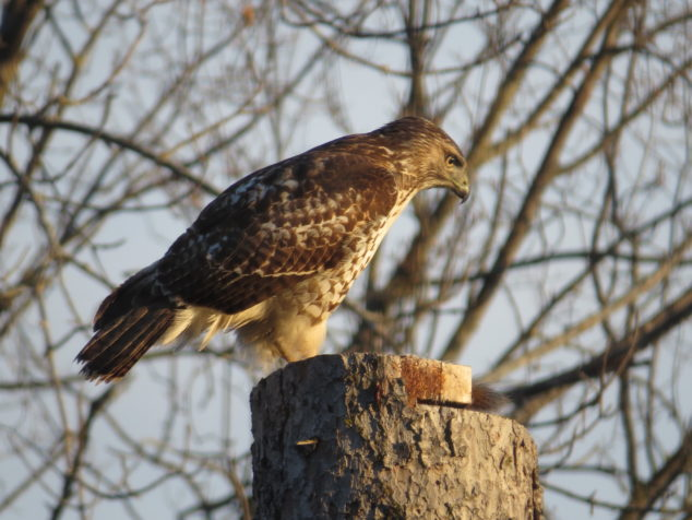 Cooper's Hawk on Spruce stump