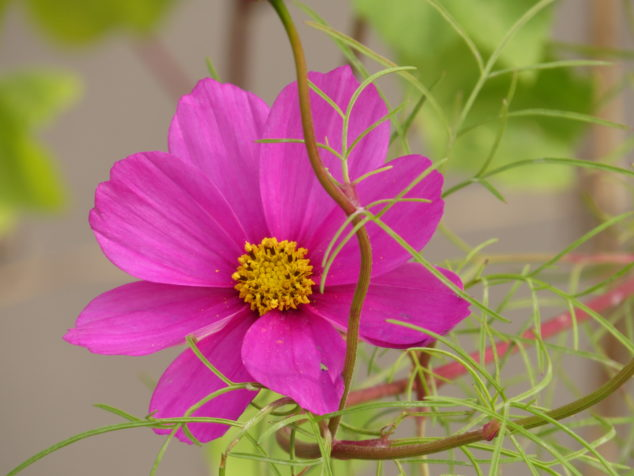 Cosmos blooming in November